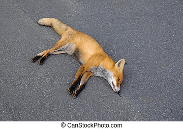Dead red fox - Vulpes vulpes dead after a car accident