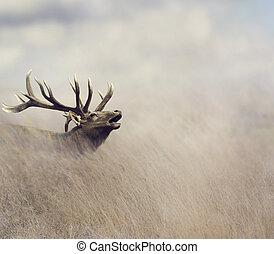 Bull Elk - Elk Walking in Tall Grass