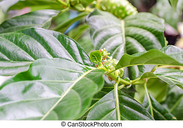 Great morinda on tree and green leaves with antNoni, Beach...