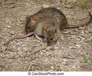 Rats - Brown rats
