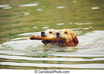 Two dogs in lake - Two golden retrievers dogs are swimming...