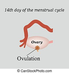 14 day of  the menstrual cycle - ovulation. Vector illustration on a gray background