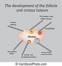 It shows the development of ovarian follicle and corpus luteum. Vector illustration on a gray background