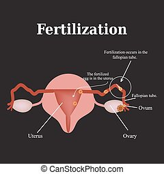 Diagram of the structure of the pelvic organs Fertilization...