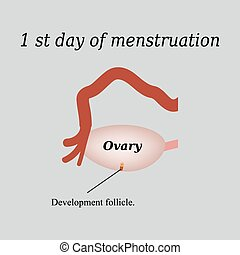 The first day of menstruation - the development of follicles in the ovaries. Vector illustration on a gray background