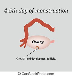 4-5 day of menstruation - the growth and development of the ovarian follicle. Vector illustration on a gray background