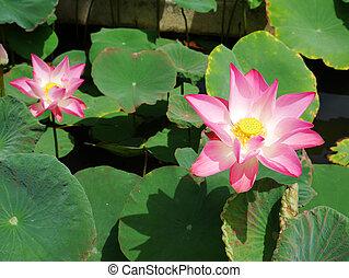Lotus flower 7 - Lotus flower in a pond