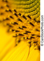 Closeup of beautiful yellow sunflower stamens, pistils and...