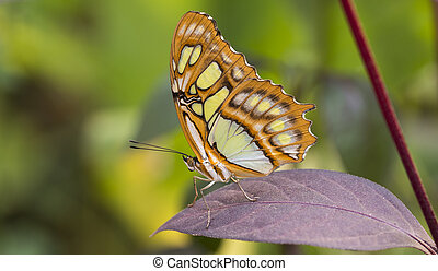 malachite butterfly or siproeta stelenes on green background
