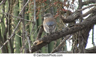 Western Bluebird Perched On Branch - Western Bluebird...