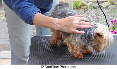 Grooming of the Yorkshire terrier - Shortening the hair of...