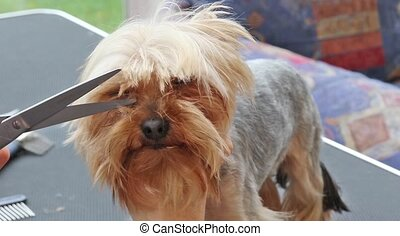 Cutting hair on the Yorkshire terrier head