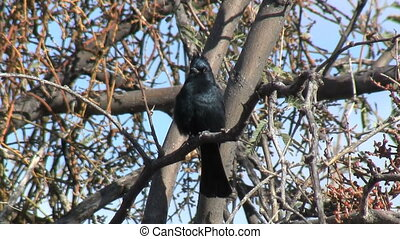 Phainopepla Perched On Branch - Phainopepla perched on...