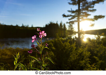 Scandinavian river with fireweed flower - Scandinavian river...