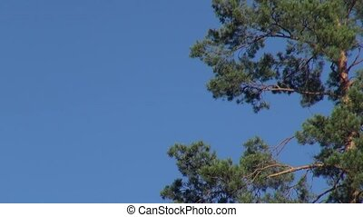 Green pine branches on the background of blue sky