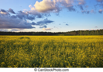 Beautiful landscape with field of yellow canola Brassica...