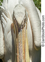 Big Pelican beak close - Large pelicans either live Kaunas...