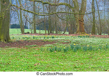 Forest clearing with daffodils - Magically acting forest...