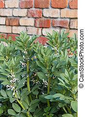 broad bean plants growing in garden - broad bean plants...