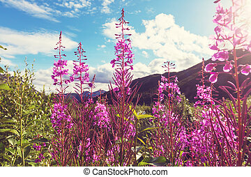 Flowers in Alaska - Meadow in Alaska