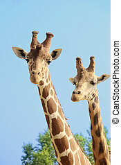 Girffes on long necks - Giraffe couple iwith blue sky and...