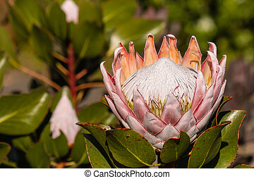 Kind protea flower and buds