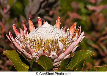 closeup of King protea flowerhead in bloom