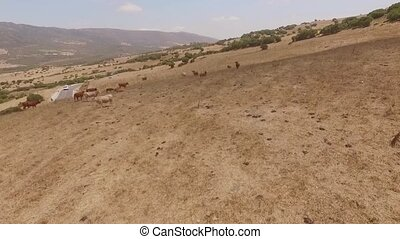 Aerial View Over Field Full of Cows in Spanish Countryside