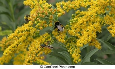 Insects collects nectar in the flower goldenrod