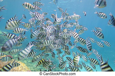 Shoal of sergeant major damselfish on coral reef - Shoal of...