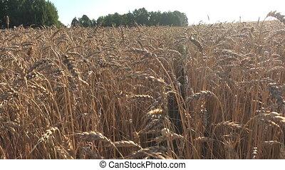 Wheat field landscape