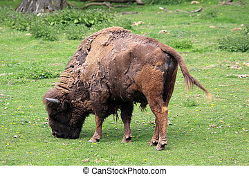 European bison - Wisent is also known as the European bison