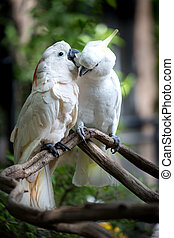 White Cockatoo, Sulphur-crested Cockatoo (Cacatua galerita)