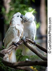 White Cockatoo, Sulphur-crested Cockatoo (Cacatua galerita)