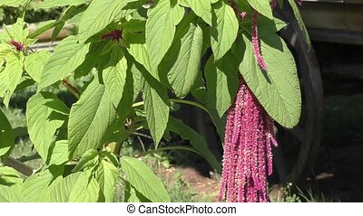 Flower love-lies-bleeding sways in the wind - Flower...