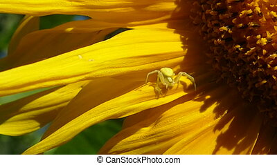 Crab spider on sunflower