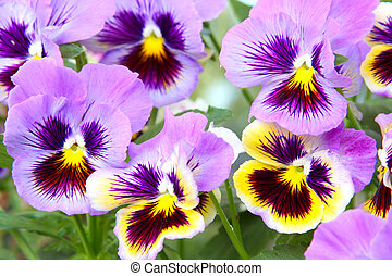 Blue and yellow and pansy (viola) - Close-up of multicolored...