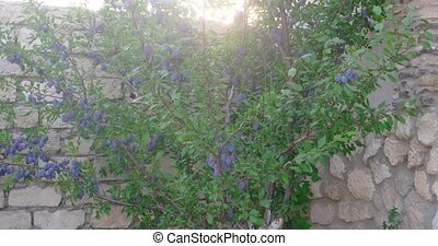 Purple plum tree in the garden. - Purple plum tree in the...