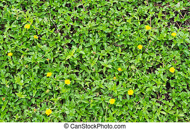 image of Creeping daisy in the garden. - image of Creeping...