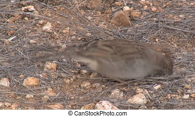 Sparrow Foraging In Sonoran Desert - Sparrow foraging in...