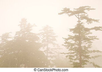 pine tree in the forest with fog