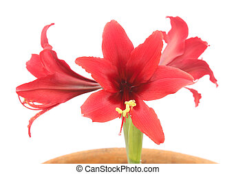 Hippeastrum red flowers isolated on white background