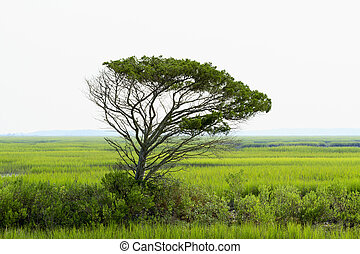 Lone Live Oak Tree Towers Over The Saltwater Marsh - A...