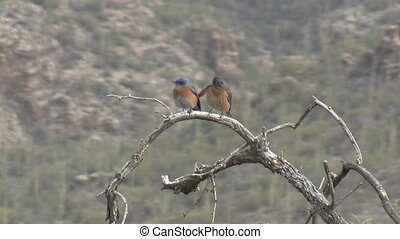 Western Bluebirds Perched On Branch In Sonoran Desert -...