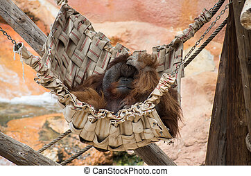 Happy Orangutan - A happy orangutan resting in a hammock in...