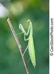 european mantis - photography macro of european mantis with...