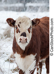 cow - young female cow in a wintry field