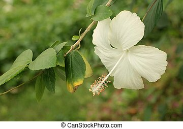 White hibiscus in a nature at the garden