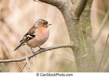 finch - an finch on an branche in the forest