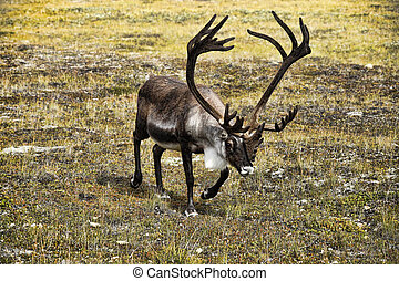 Caribou Walking in Alpine Meadow - Large caribou with...